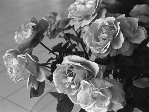 Barons' Roses