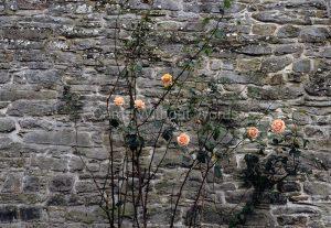 Rose Wall